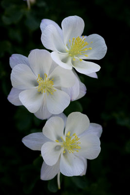 Columbine flowers photo by Andy Long