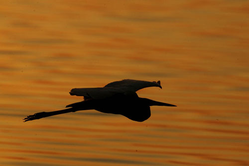 Silhouette photo of bird flying over the water at sunrise by Andy Long