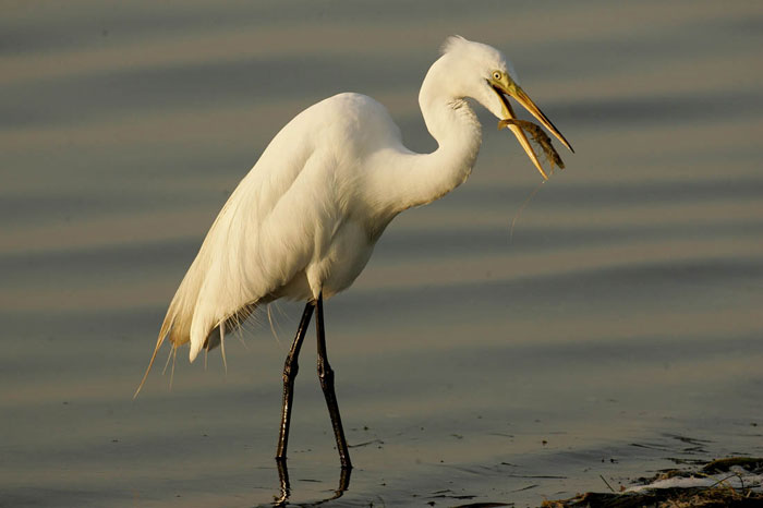 Photo of Great Egret catching a fish by Andy Long