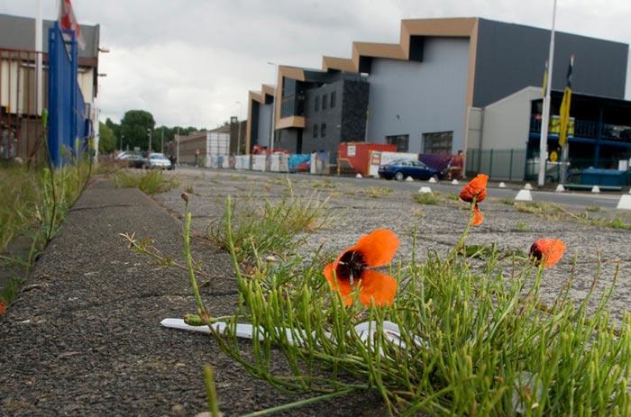Biodiversity: photo of a Poppy in the city of Rotterdam by Edwin Brosens