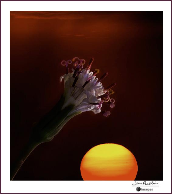 Photo of flower at sunrise by Jim Austin