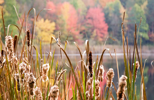 Autumn color photo of cat tails at Sylvan Lake in Cuyahoga Valley National Park, Ohio by Robert Hitchman