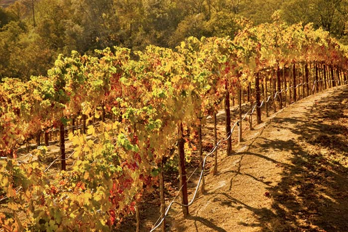 Autumn color photo of grape vines at Dry Creek Vineyards in Napa Valley, California by Robert Hitchman