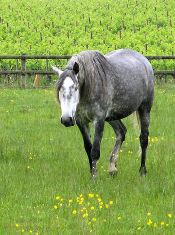 Photo of free-roaming horse in winery field in Pauillac, France by Cliff Kolber