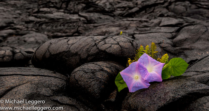 Close-up photo of Oceanblue Morning Glory in lava field in Hawaii by Michael Leggero
