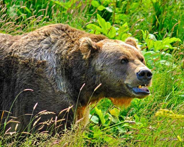 Portrait of King Kodiak in the lush, green bushes of Alaska by Joseph Classen.