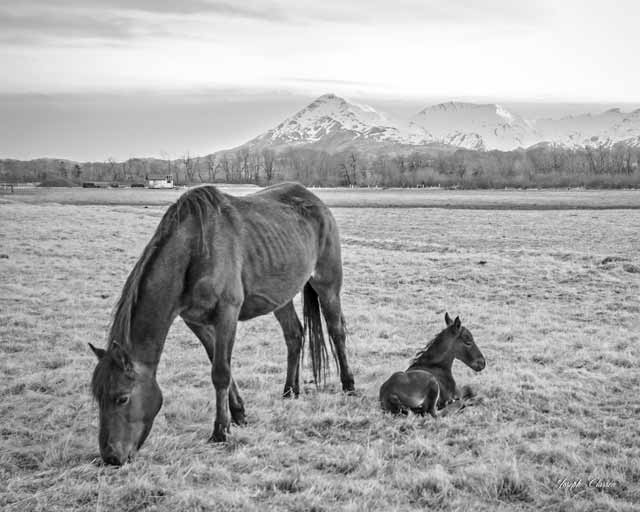 Black and white landscape image of a mare and her foall by Joseph Classen.