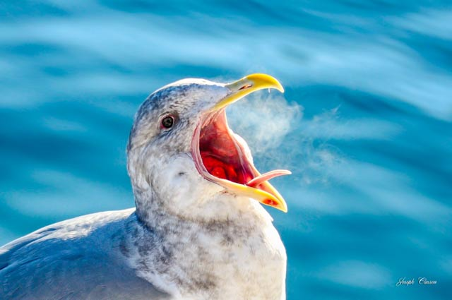 Close-up image of the breath of a seagull on a cold winter day in Alaska by Joseph Classen.