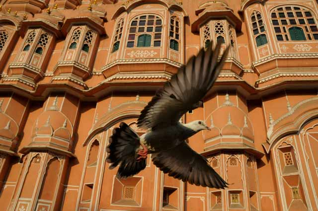 Episode Five – Asia & Australia. Rock Dove, Palace of the Winds, Jaipur, India. Credit: © John Downer Productions