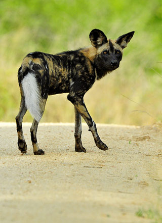 African wild dog hunting from road near Skukuza camp in the Kruger National Park, South Africa by Mario Fazekas.