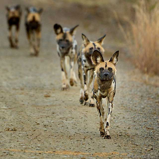 African Safari: Pack of wild dogs walking along road in the Pilanesberg by Edward Peach.