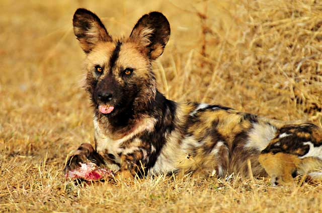 African Safari: African Wild Dog resting in the grasses with lunch in the Pilanesberg, South Africa by Mario Fazekas.