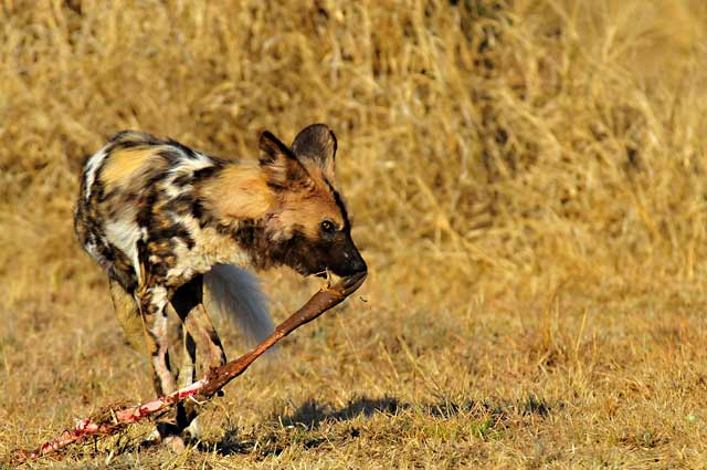 African painted dog with Impala leg in golden grasses in the Pilanesberg, South Africa by Mario Fazekas.