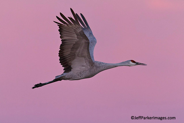 Photo of bird in flight: Sandhill Crane against pink pastel sky at Bosque del Apache National Wildlife Refuge, New Mexico by Jeff Parker.