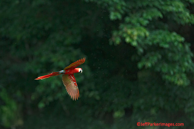 Photographing Birds in Flight: Scarlet Macaw flying in the rain at Osa Peninsula, Costa Rica by Jeff Parker.
