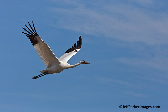 Bird in Flight: Whooping Crane against blue sky at Aransas National Wildlife Refuge, Texas by Jeff Parker.