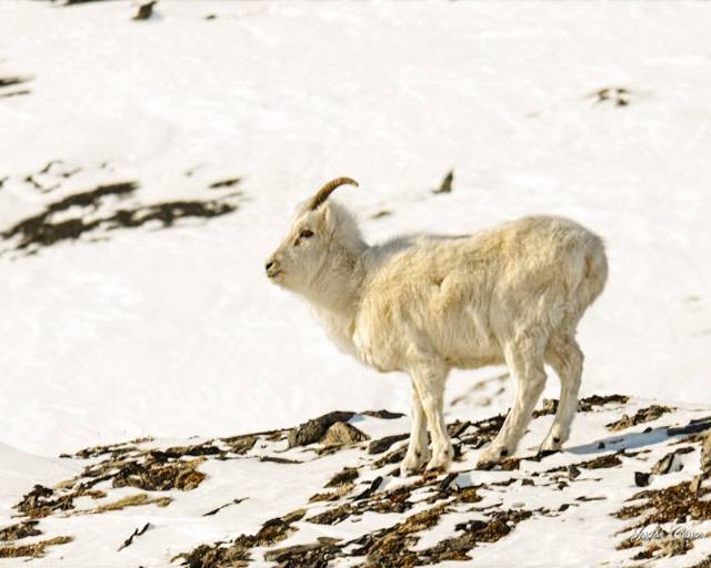 Brooks-Range-Dall-Sheep