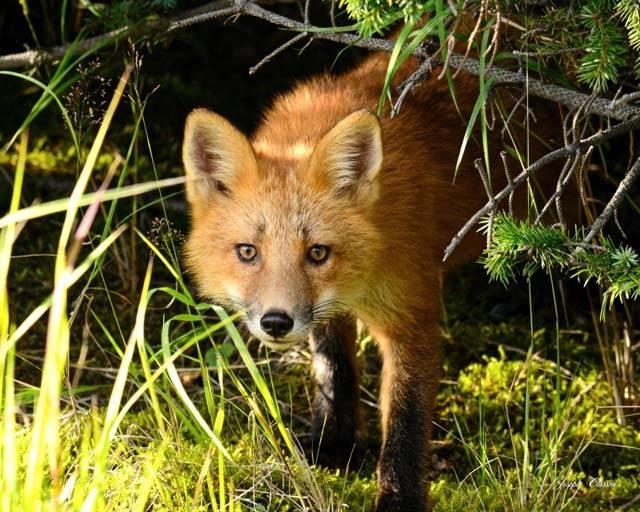 Buskin-River-Red-Fox