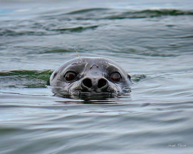 Chiniak-Creek-Seal-