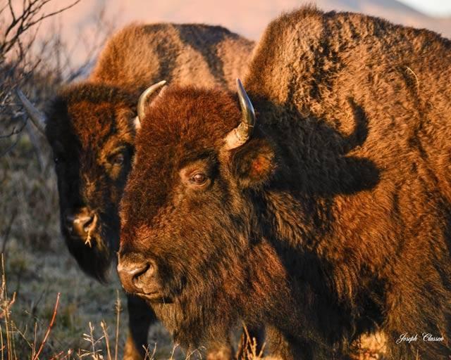 Kodiak-Buffalo-Profile