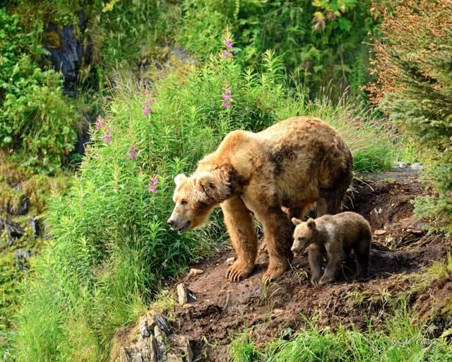 Kodiak-sow-and-cub-bonding