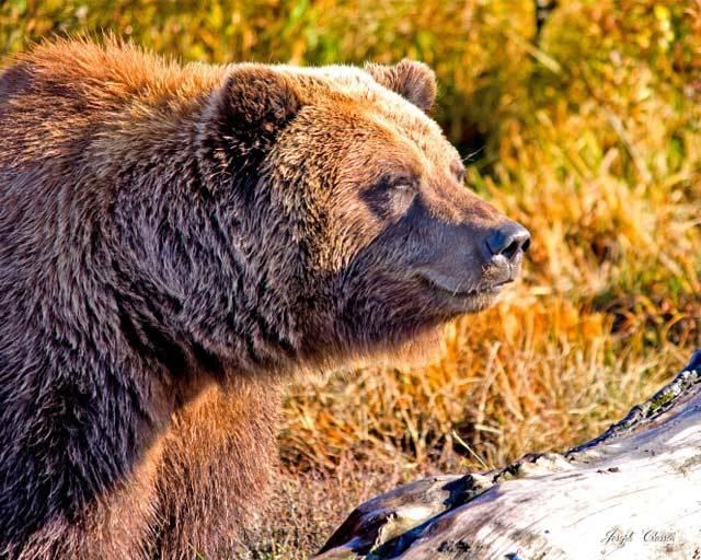 Sunshine-Brown-Bear