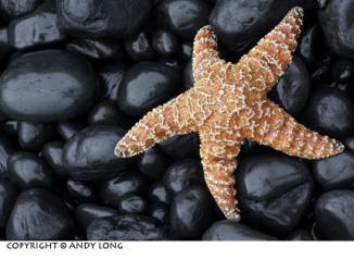 Photo design concepts: starfish on black rocks showing combined colors and textures shape in a photo by Andy Long.