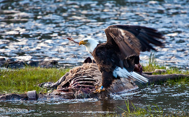 Close-up of American Bald Eage eating on an Elk by Brad Sharp.