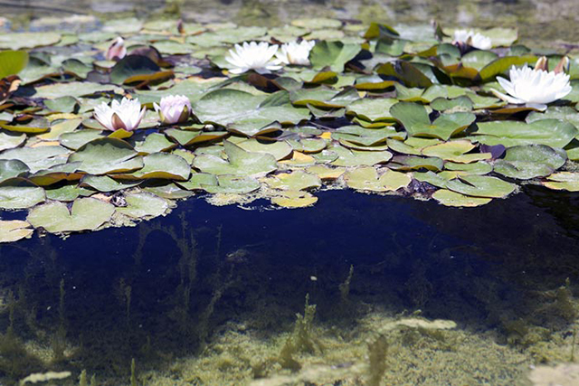 Image of lily pond with a circular polarizing filter set at maximum by Brad Sharp.