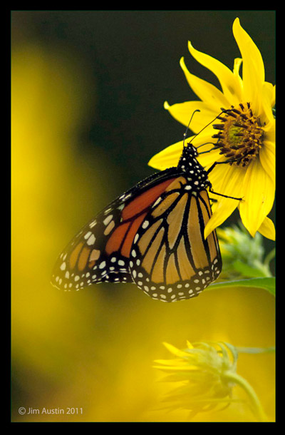 Photo of Monarch Butterfly by Jim Austin