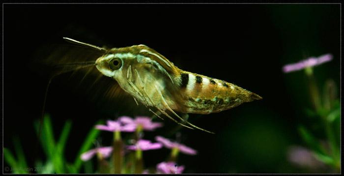 Photo of White Sphinx Moth in flight by Jim Austin