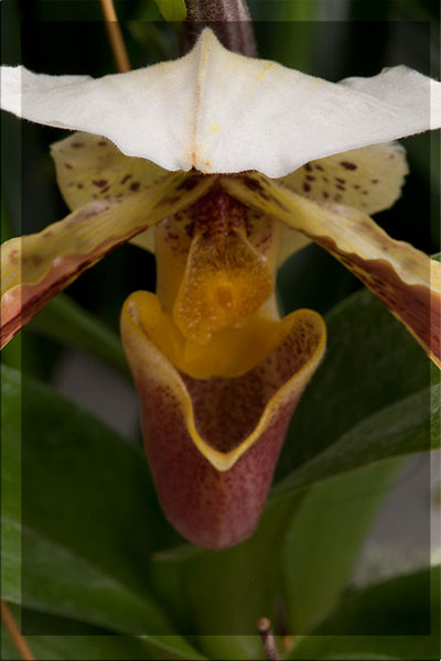 Screen capture of macro orchid photo blended for Focus Stacking in Photoshop CS5 by Brad Sharp