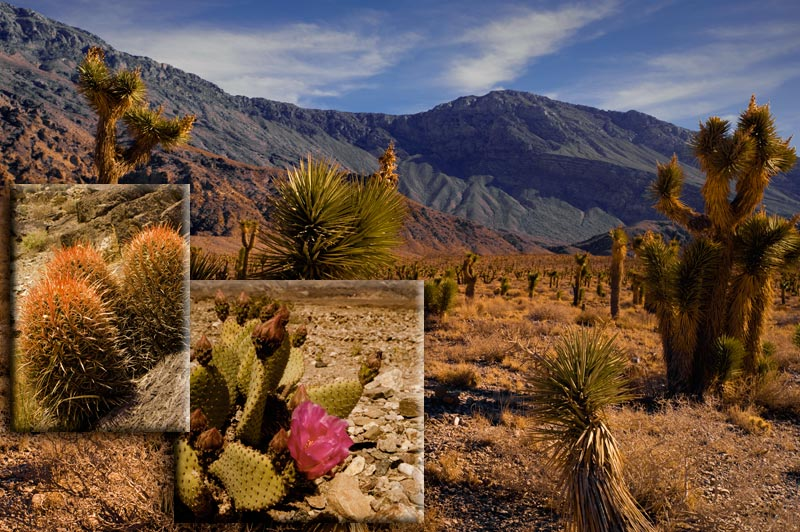 Landscape photo of Death Valley National Park and a variety of cactus by Michael Leggero.