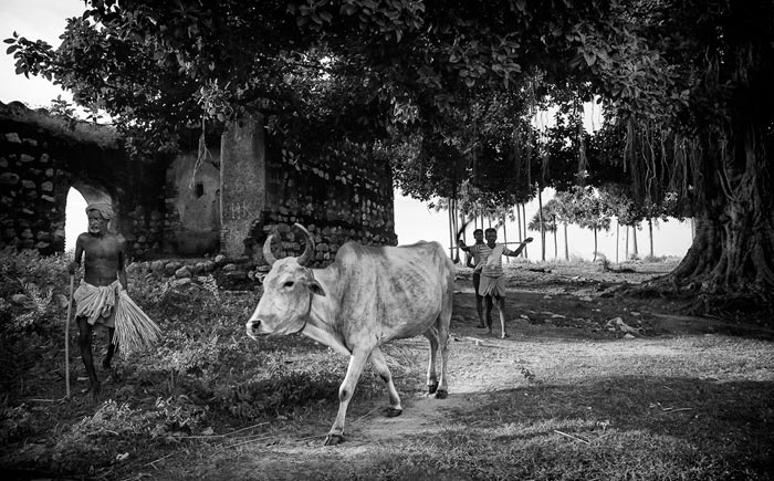 Photo of cattlemen driving a cow under Banyan tree in Bodhgaya, India by Nico DeBarmore