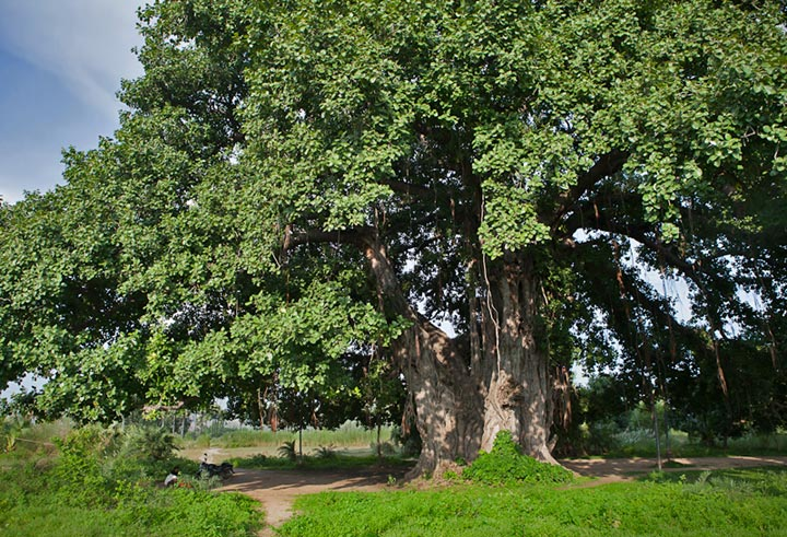 Photo of a huge banyan tree in Bodhgaya, India by Nico DeBarmore