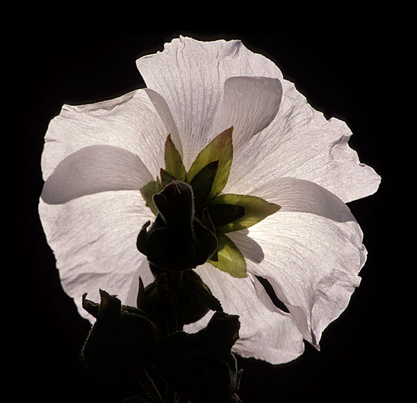 Close-up photo of backlit white flower by Noella Ballenger