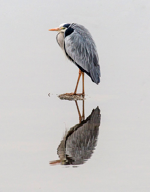 Grey Heron and its reflection on smooth water in South Africa by Noella Ballenger.