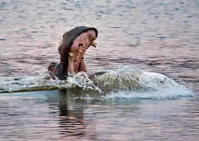 Hippopotamus splashes in the water - yawn and display of teeth is a warning signal in South Africa by Noella Ballenger.