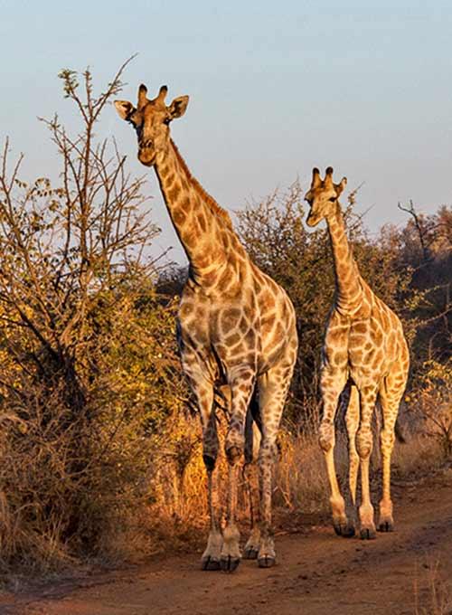 Female Giraffe and her calf walking downt the road in early morning golden light of Noella Ballenger.