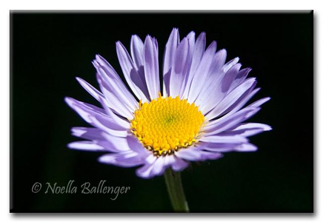 Close-up photo of Aster by Noella Ballenger