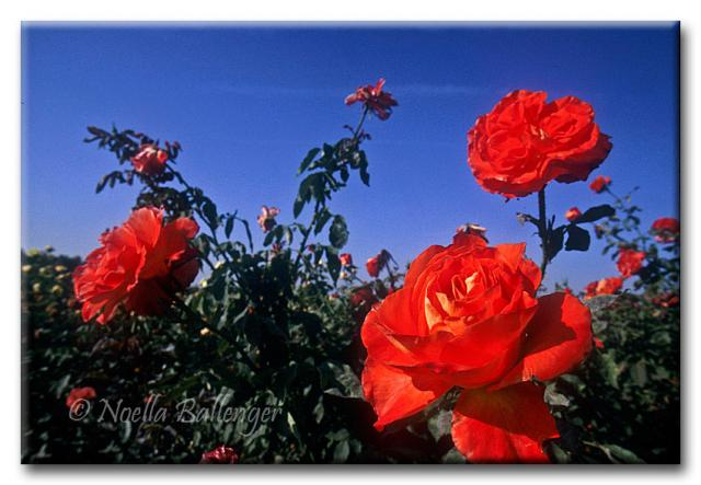Photo of red Roses by Noella Ballenger