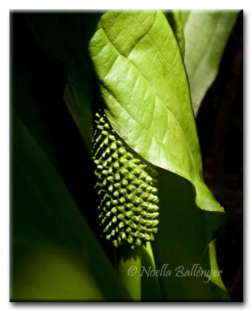 Close-up photo of Skunk Cabbage by Noella Ballenger