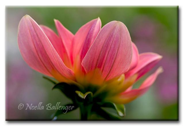Close-up photo of Dahlia by Noella Ballenger