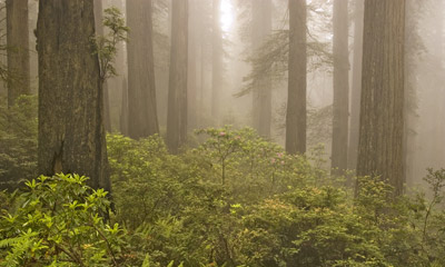 Photo of Redwood Grove in Prairie Creek Redwoods State Park by Robert Hitchman