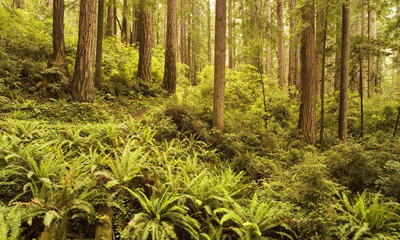 Photo of Rhododendrom Trail in Prairie Creek Redwoods State Park by Robert Hitchman