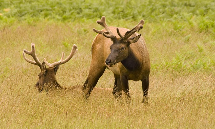 Photo of two bull Elk by Robert Hitchman