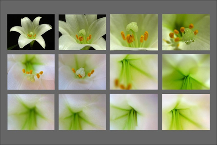 Photo of contact sheet of Easter Lilies by Juergen Roth.