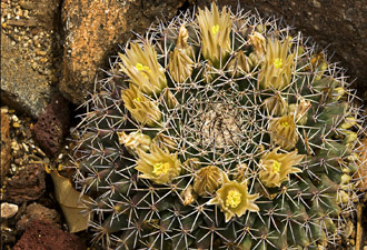 Photo of floweing Nipple Cactus at Big Bend Ranch State Park, Texas by Gary Nored