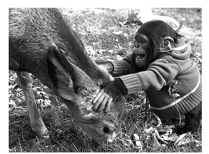 Photo of a deer and chimpanzee called Contact by Jim Austin
