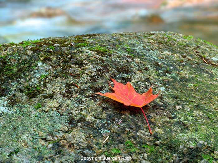 Photo of fall leaf on rock at Sabbaday Brook by Juergen Roth.